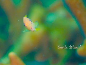 金魚に似てるかわいい魚