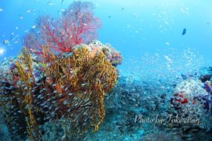 水納島の赤いイソバナと群れる魚達