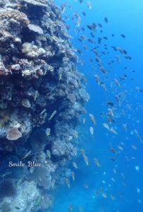 サンゴの森の中を泳ぐたくさんの魚たち