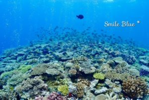 万座の美しいサンゴ礁とキホシスズメダイの群れ